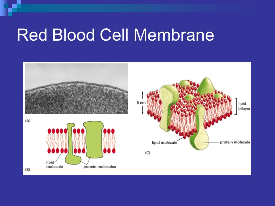 Red Blood Cell Membrane