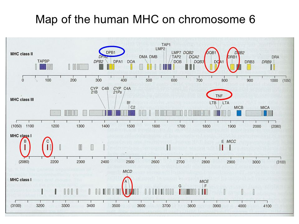 Map of the human MHC on chromosome 6