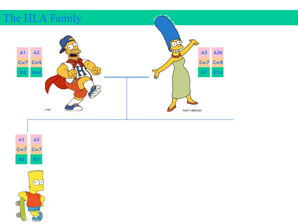 The HLA Family A1 A2 A3 A26 Cw7 Cw5 Cw7 Cw8 B8 B44 B7 B14 A1 A3 Cw7