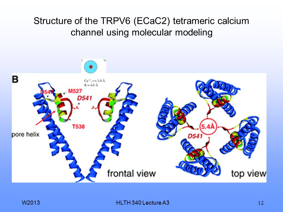 Structure of the TRPV6 (ECaC2) tetrameric calcium channel using molecular modeling
