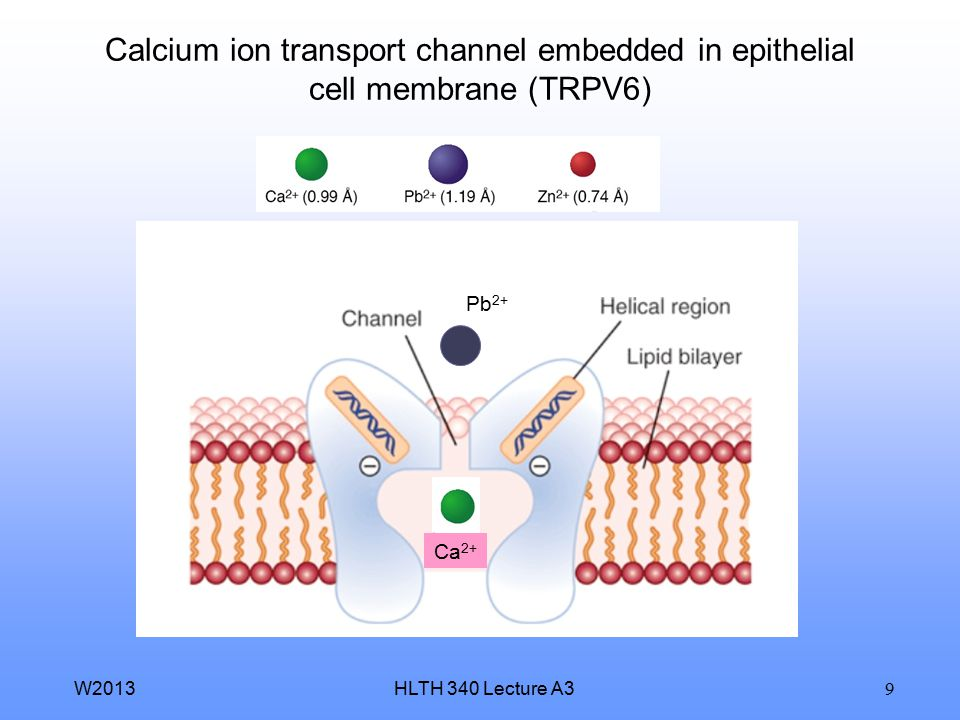 Calcium ion transport channel embedded in epithelial cell membrane (TRPV6)