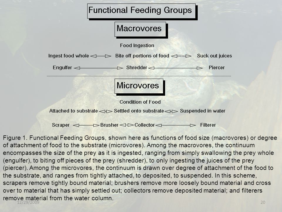 Figure 1. Functional Feeding Groups, shown here as functions of food size (macrovores) or degree of attachment of food to the substrate (microvores). Among the macrovores, the continuum encompasses the size of the prey as it is ingested, ranging from simply swallowing the prey whole (engulfer), to biting off pieces of the prey (shredder), to only ingesting the juices of the prey (piercer). Among the microvores, the continuum is drawn over degree of attachment of the food to the substrate, and ranges from tightly attached, to deposited, to suspended. In this scheme, scrapers remove tightly bound material; brushers remove more loosely bound material and cross over to material that has simply settled out; collectors remove deposited material; and filterers remove material from the water column.