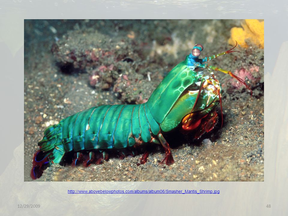 http://www. abovebelowphotos. com/albums/album06/Smasher_Mantis_Shrimp
