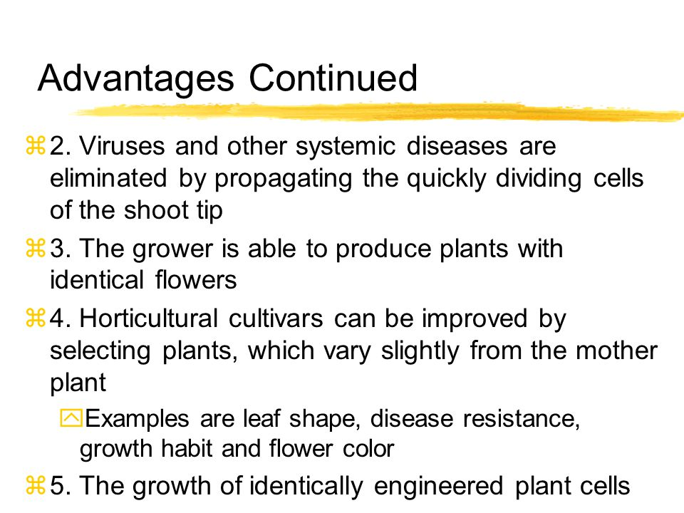 Advantages Continued 2. Viruses and other systemic diseases are eliminated by propagating the quickly dividing cells of the shoot tip.