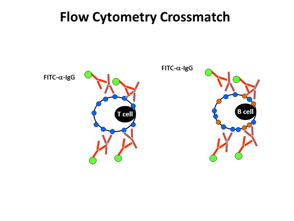 Flow Cytometry Crossmatch