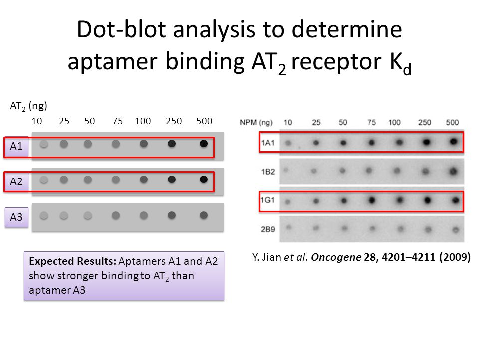 Dot-blot analysis to determine aptamer binding AT2 receptor Kd