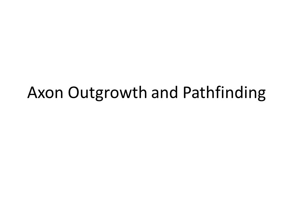 Axon Outgrowth and Pathfinding
