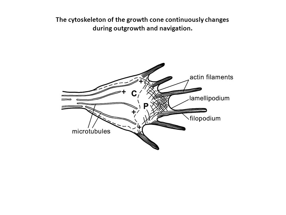 The cytoskeleton of the growth cone continuously changes