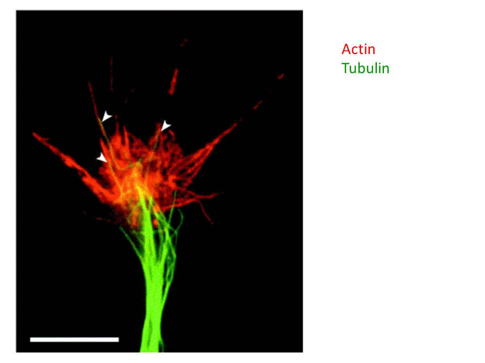 Actin Tubulin