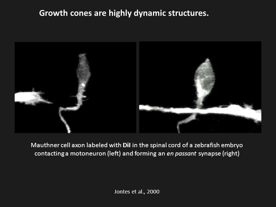 Growth cones are highly dynamic structures.