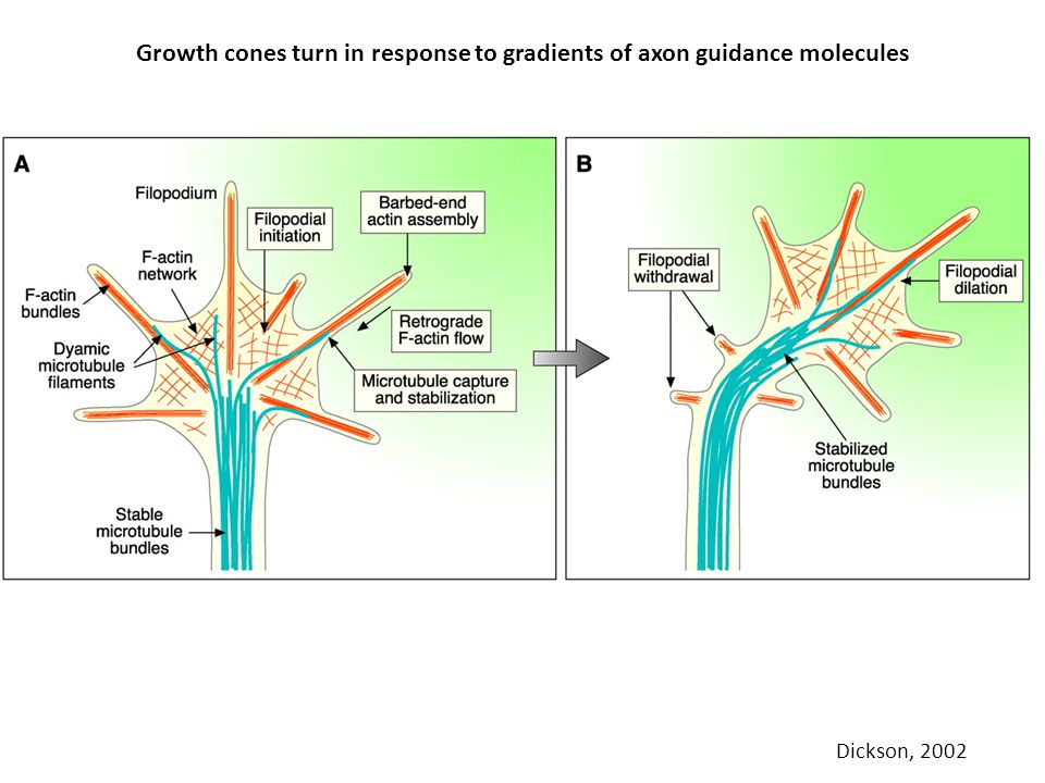 Growth cones turn in response to gradients of axon guidance molecules