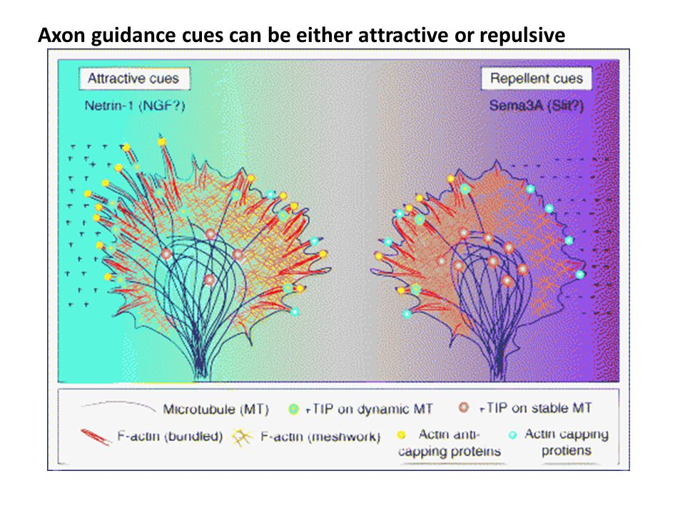 Axon guidance cues can be either attractive or repulsive