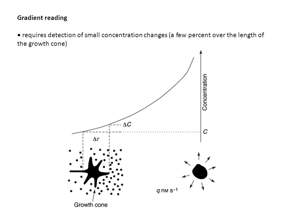 Gradient reading • requires detection of small concentration changes (a few percent over the length of the growth cone)