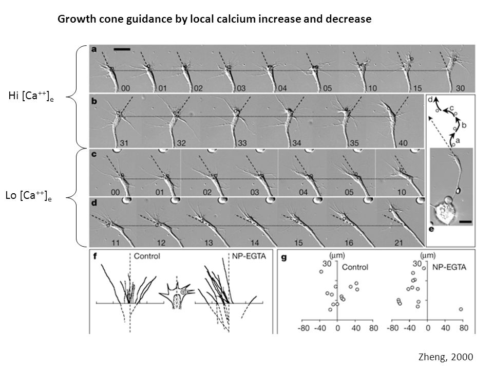 Growth cone guidance by local calcium increase and decrease