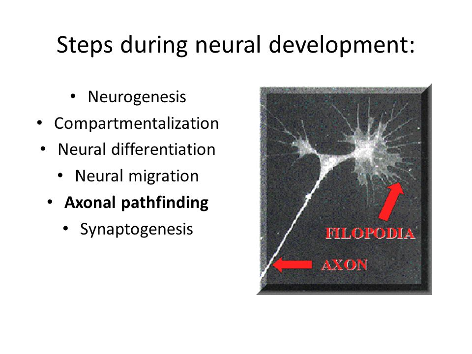 Steps during neural development: