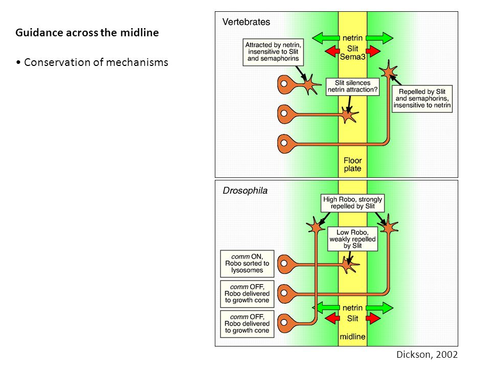Guidance across the midline • Conservation of mechanisms
