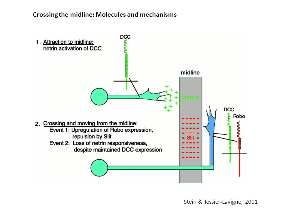 Crossing the midline: Molecules and mechanisms