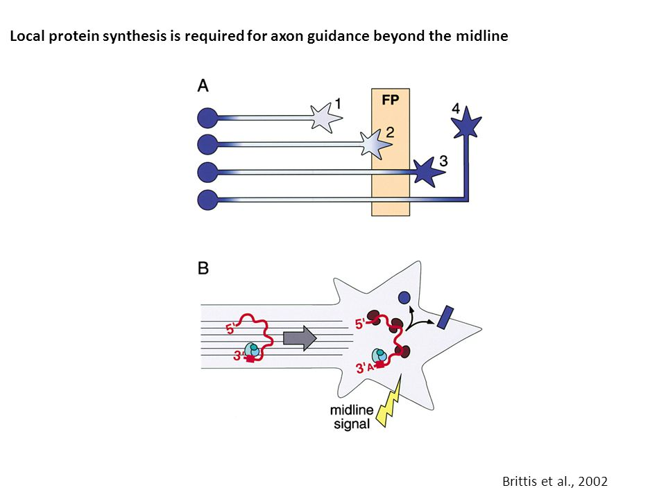 Local protein synthesis is required for axon guidance beyond the midline