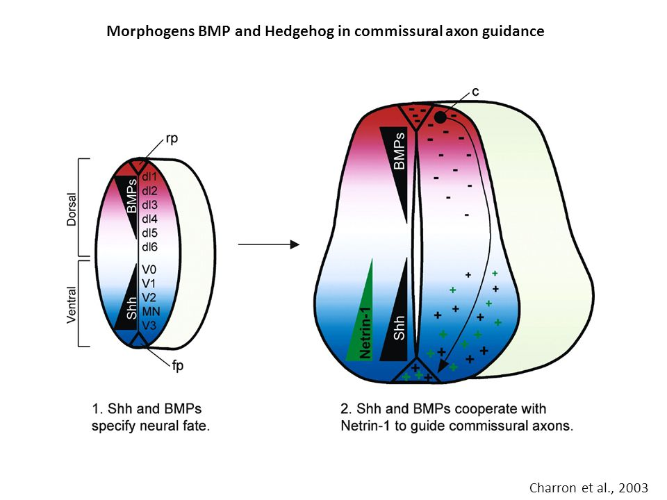 Morphogens BMP and Hedgehog in commissural axon guidance