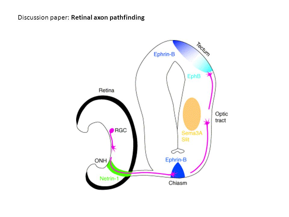 Discussion paper: Retinal axon pathfinding