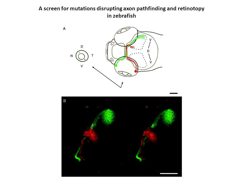 A screen for mutations disrupting axon pathfinding and retinotopy in zebrafish