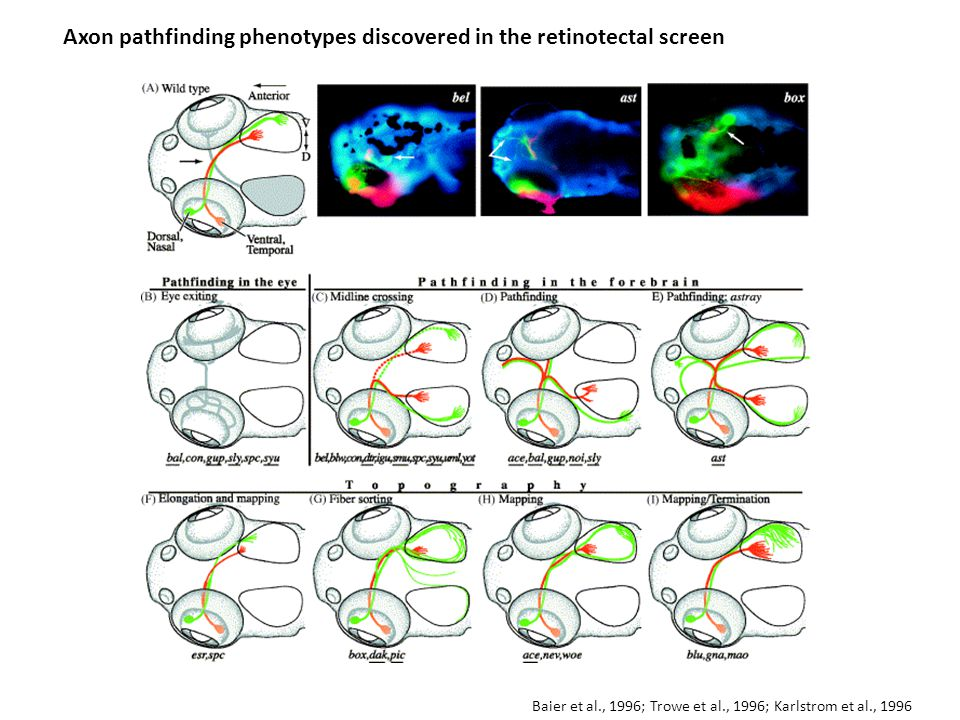 Axon pathfinding phenotypes discovered in the retinotectal screen