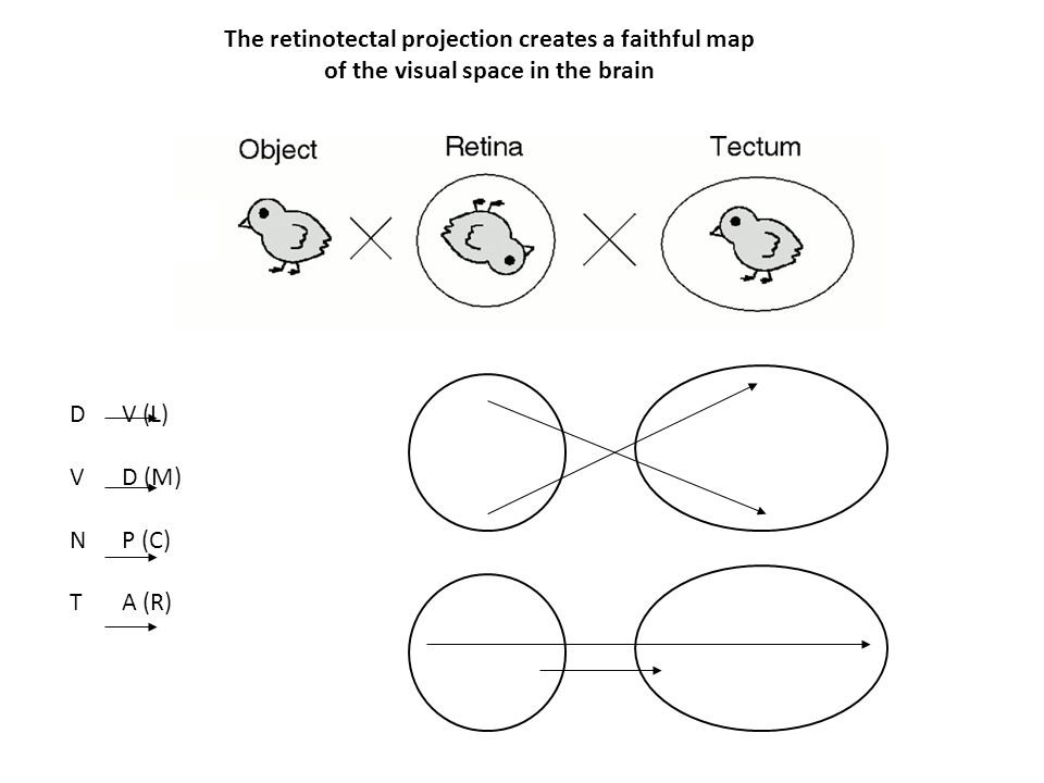 The retinotectal projection creates a faithful map