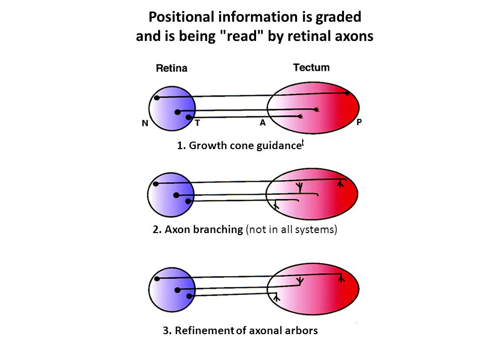 Positional information is graded and is being read by retinal axons