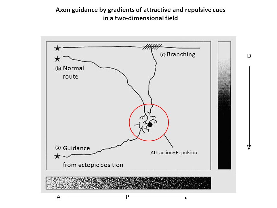 Axon guidance by gradients of attractive and repulsive cues
