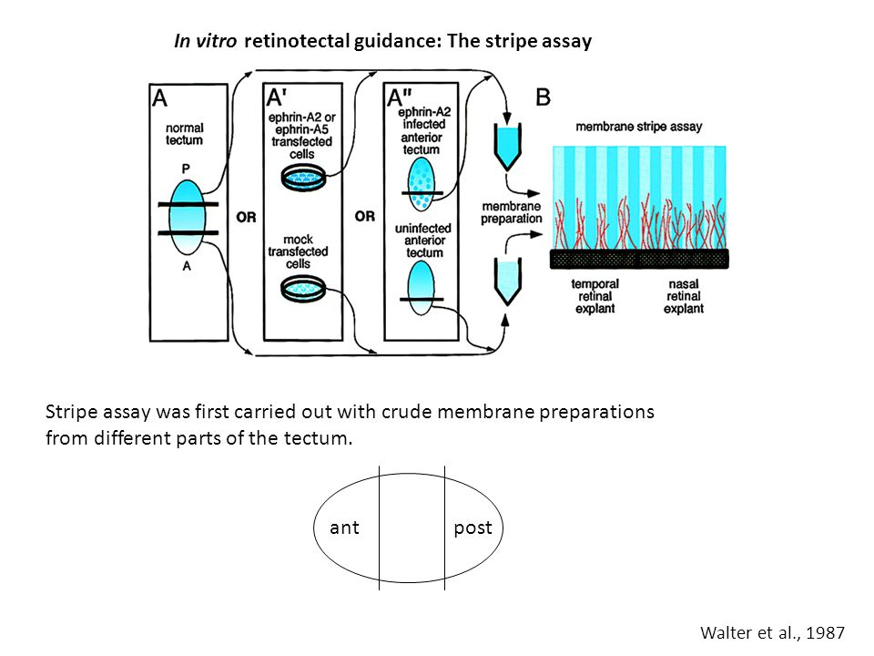 In vitro retinotectal guidance: The stripe assay