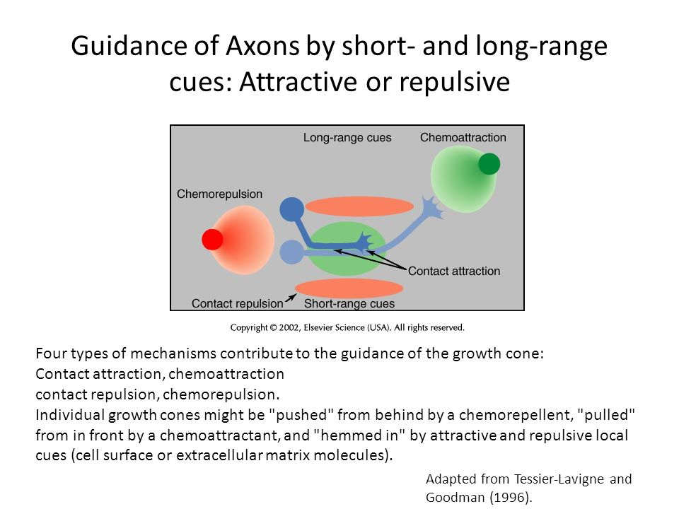 Guidance of Axons by short- and long-range cues: Attractive or repulsive