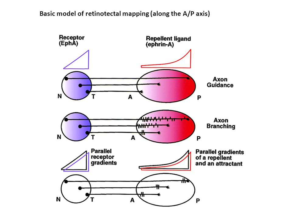 Basic model of retinotectal mapping (along the A/P axis)