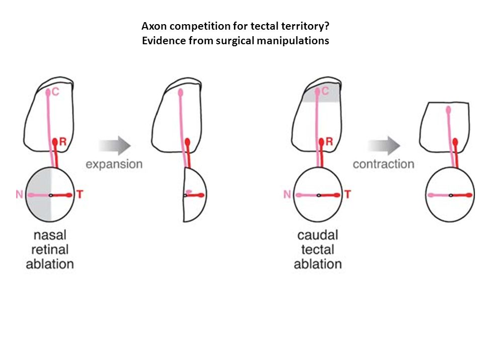Axon competition for tectal territory