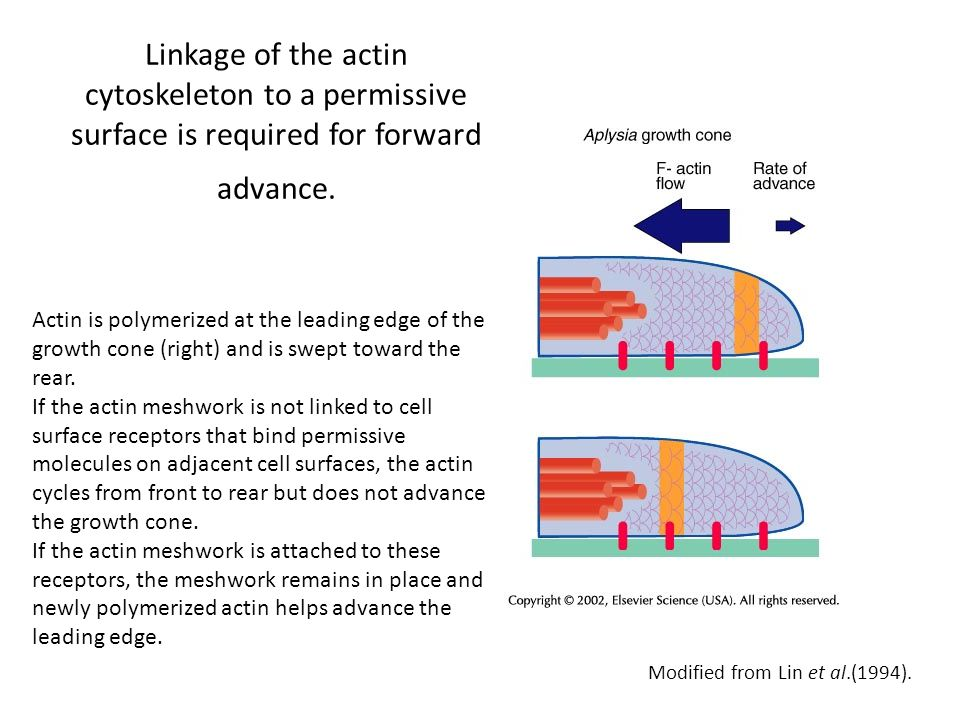 Linkage of the actin cytoskeleton to a permissive surface is required for forward advance.