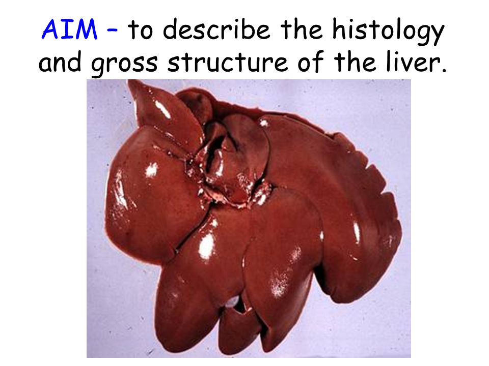 AIM – to describe the histology and gross structure of the liver.