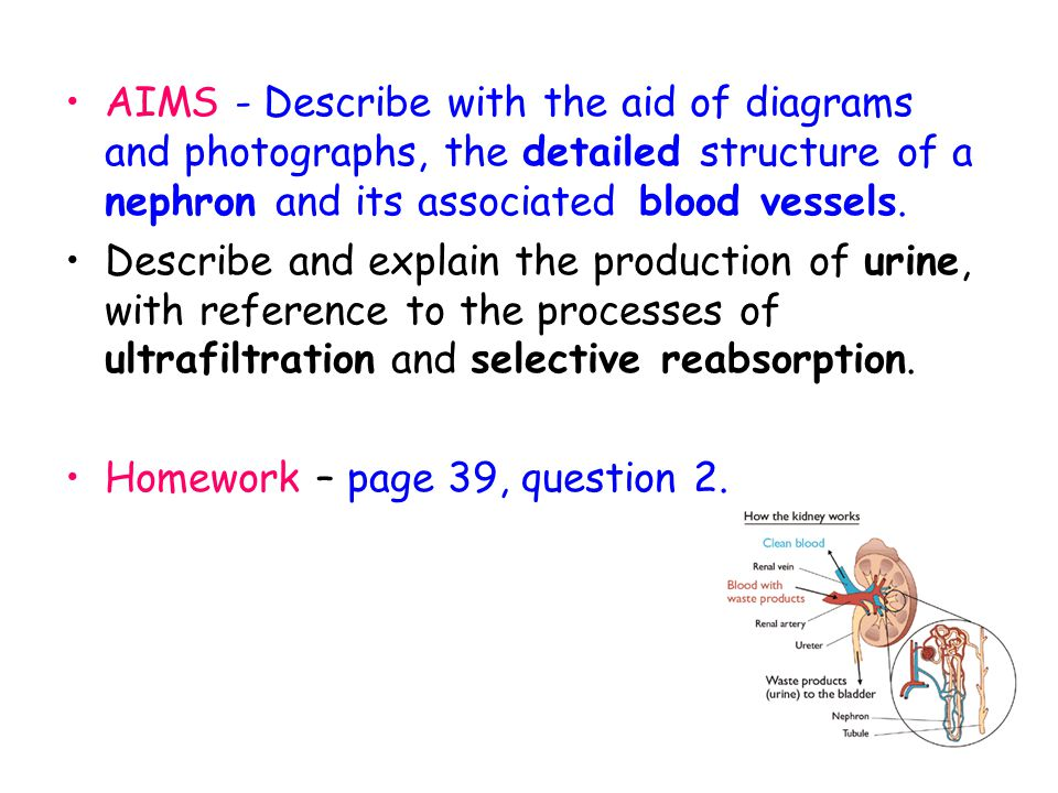AIMS - Describe with the aid of diagrams and photographs, the detailed structure of a nephron and its associated blood vessels.