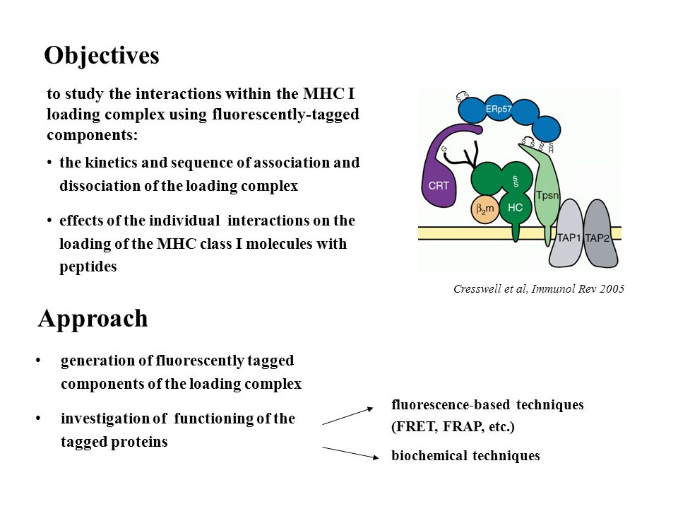 Objectives to study the interactions within the MHC I loading complex using fluorescently-tagged components: