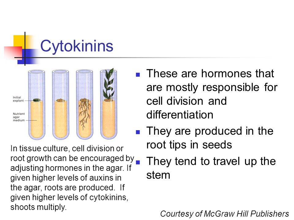 Cytokinins These are hormones that are mostly responsible for cell division and differentiation. They are produced in the root tips in seeds.