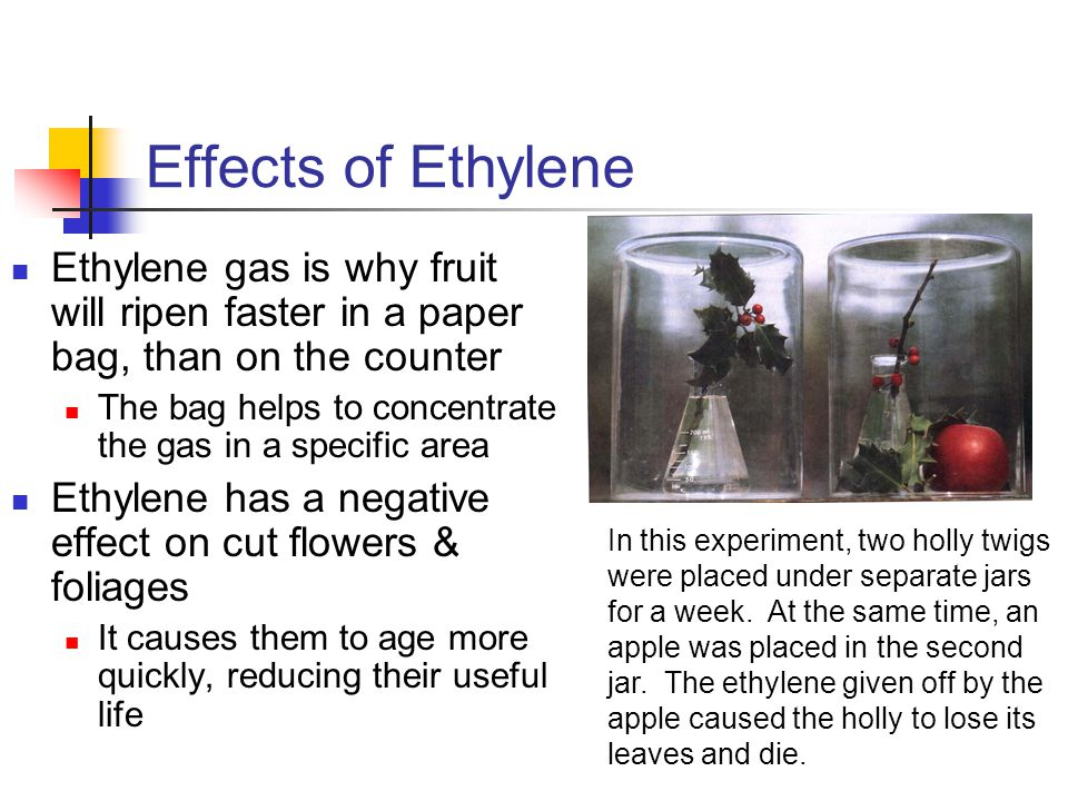 Effects of Ethylene Ethylene gas is why fruit will ripen faster in a paper bag, than on the counter.