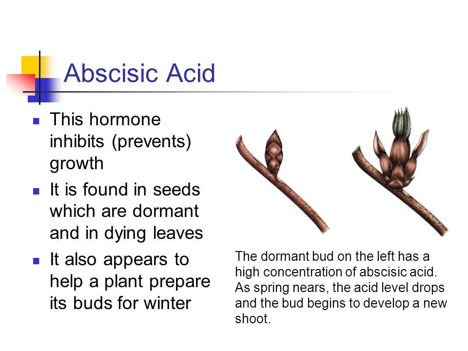 Abscisic Acid This hormone inhibits (prevents) growth