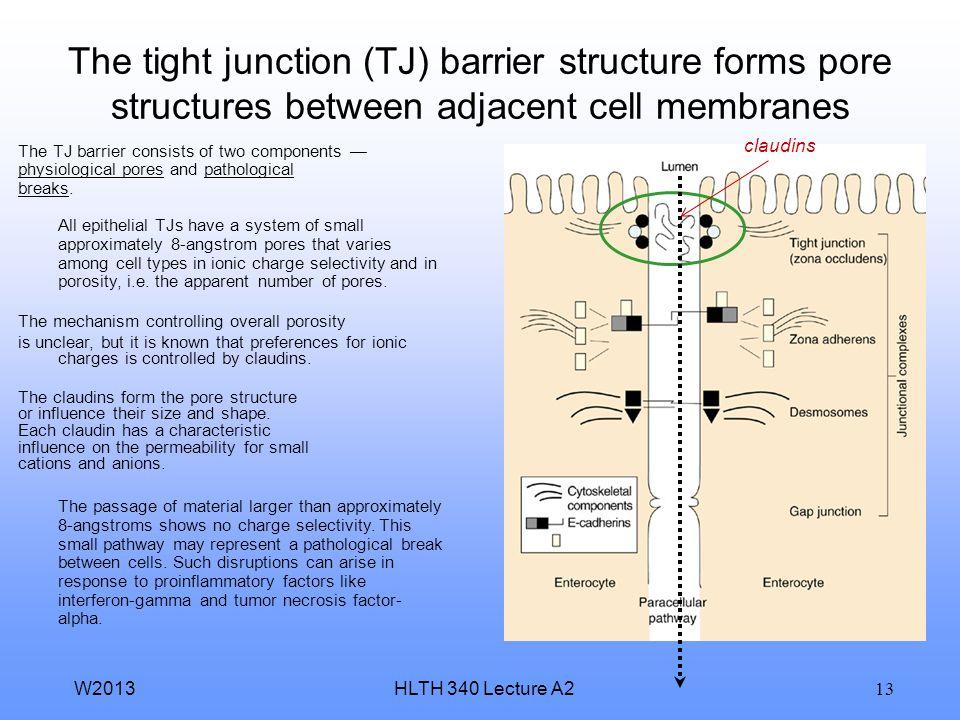 The tight junction (TJ) barrier structure forms pore structures between adjacent cell membranes
