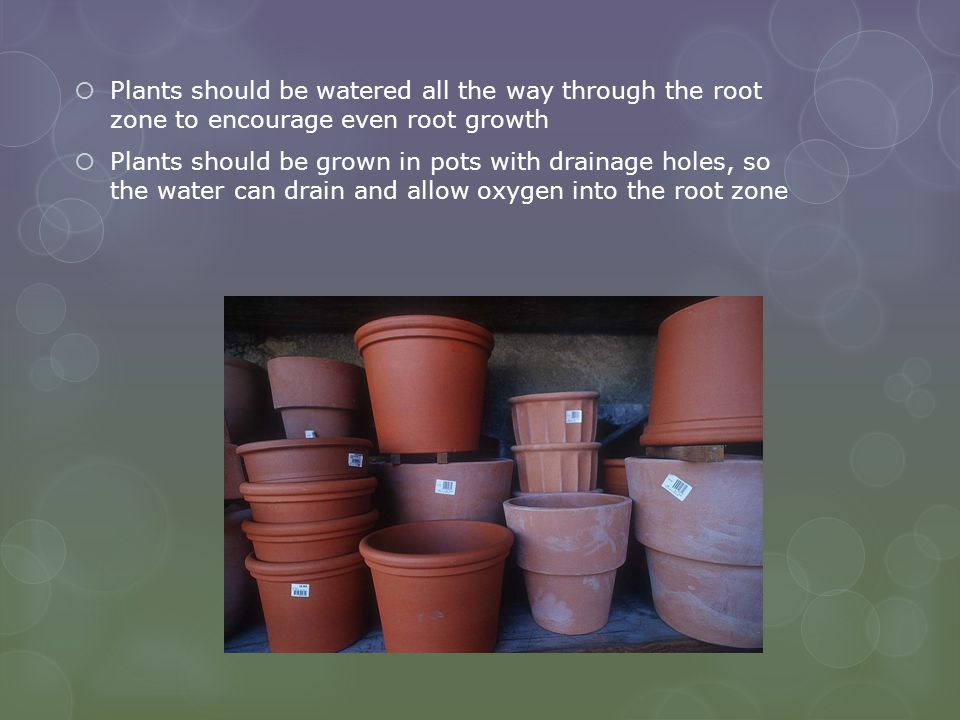 Plants should be watered all the way through the root zone to encourage even root growth