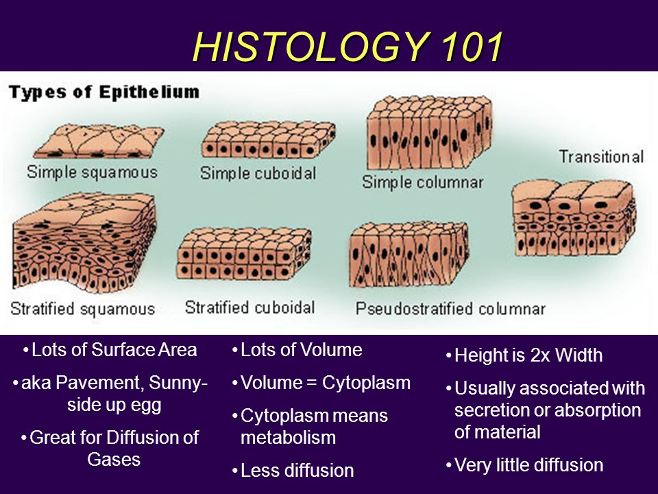 HISTOLOGY 101 Lots of Surface Area aka Pavement, Sunny-side up egg