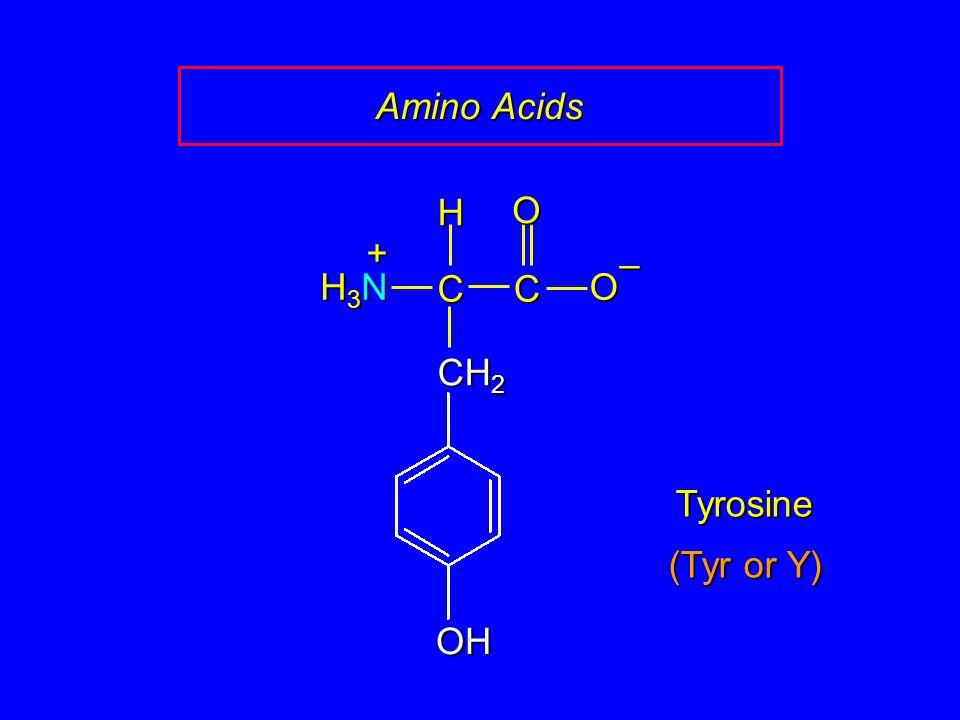 Amino Acids C O – CH2 H H3N + OH Tyrosine (Tyr or Y)