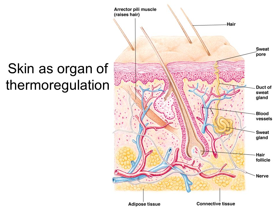 Skin as organ of thermoregulation