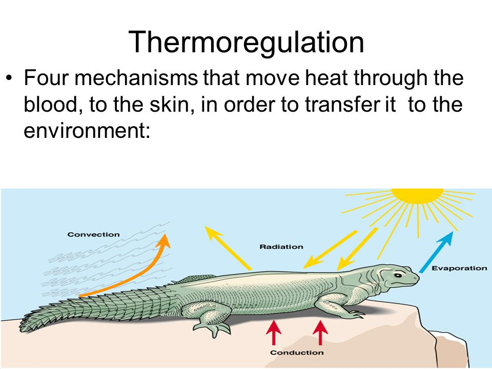 Thermoregulation Four mechanisms that move heat through the blood, to the skin, in order to transfer it to the environment: