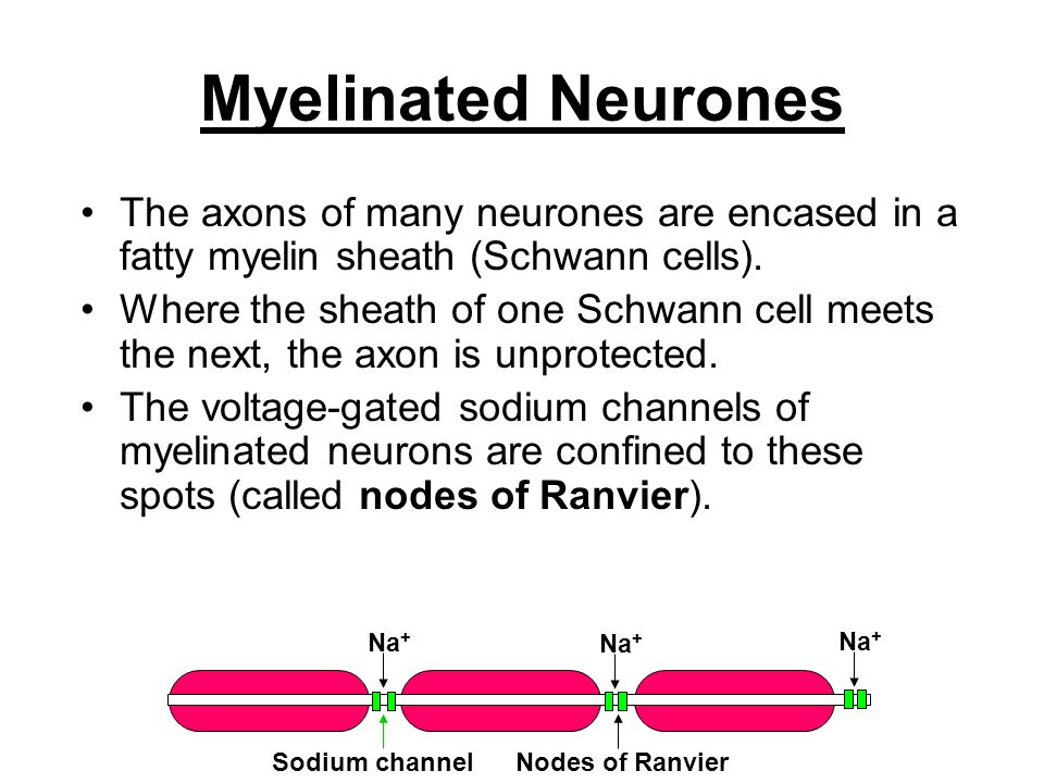 Myelinated Neurones The axons of many neurones are encased in a fatty myelin sheath (Schwann cells).