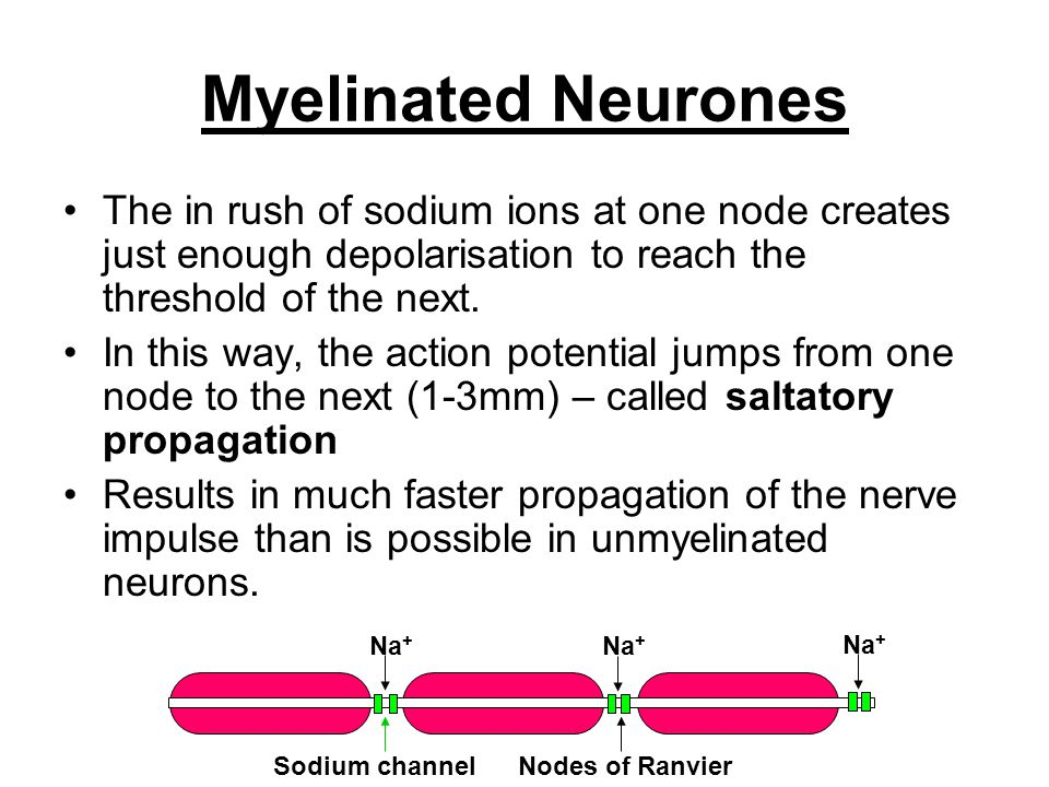Myelinated Neurones The in rush of sodium ions at one node creates just enough depolarisation to reach the threshold of the next.