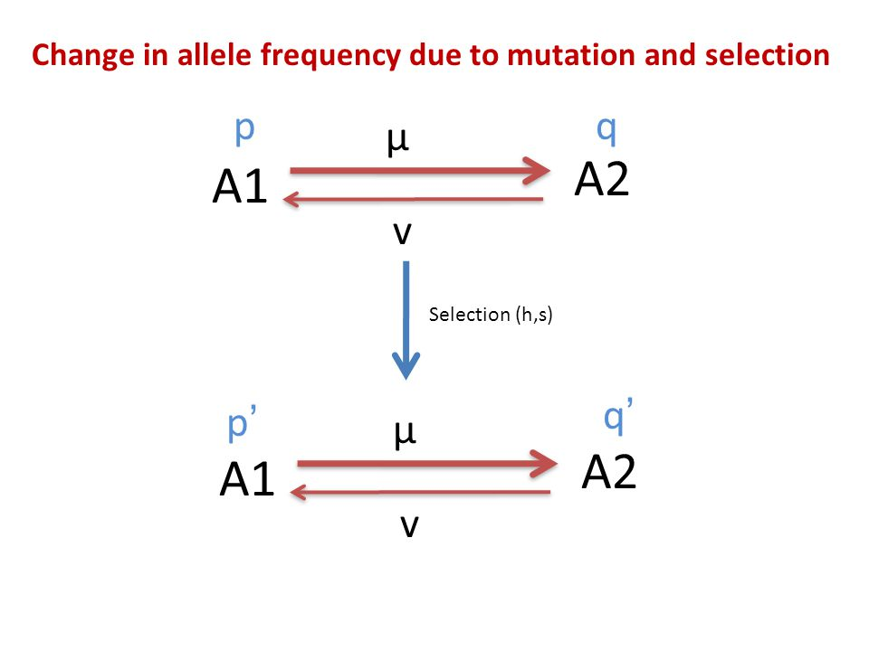 Change in allele frequency due to mutation and selection