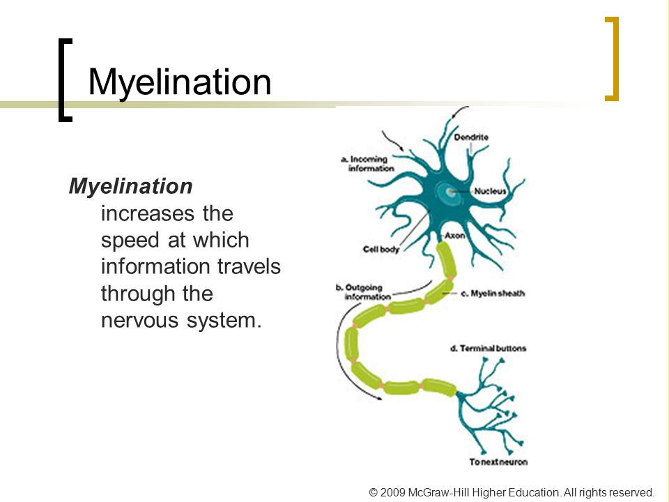 Myelination Myelination increases the speed at which information travels through the nervous system.